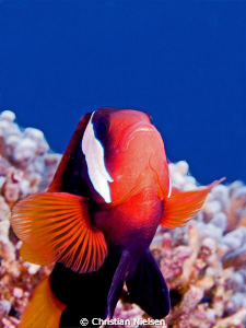 Anemonefish with bluewater background. Housereef Lembonga... by Christian Nielsen 